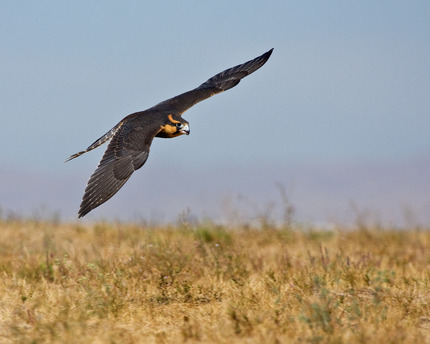 Low-flying Aplomado Falcon