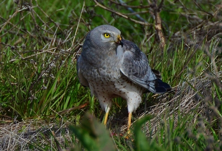 Male Northen Harrier having lunch
